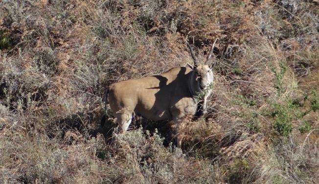 Drakensberg tour, Eland in Royal Natal National park