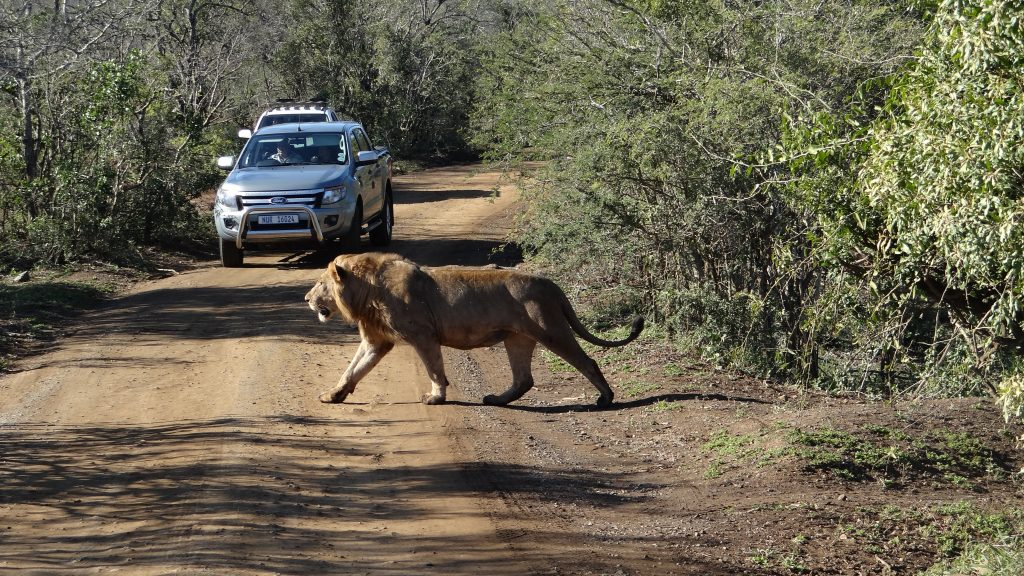 Lion crossing road on a Durban safari