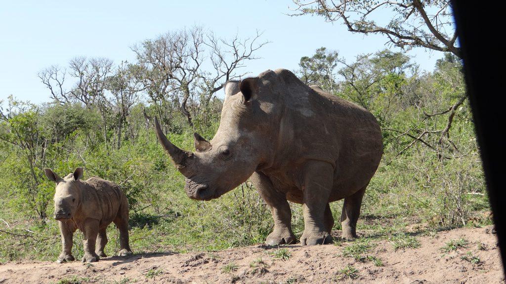 Baby Rhino on Durban safari