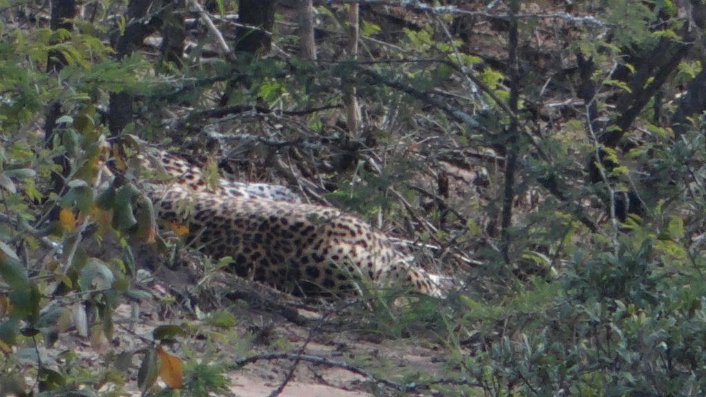 Leopard resting in Hluhluwe