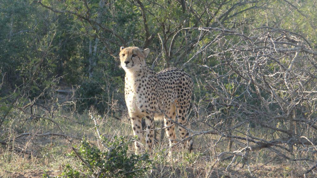 Cheetah on the prowl on a Durban safari