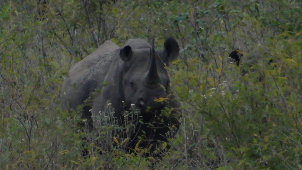 Hluhluwe game reserve, Black Rhino and calf