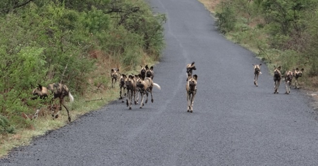 South African safari; African wild dogs