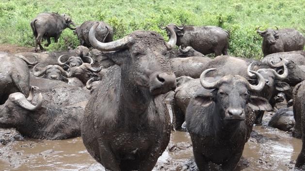 Durban day safari; Buffalo