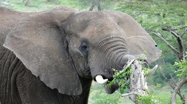Durban day safari; Elephant