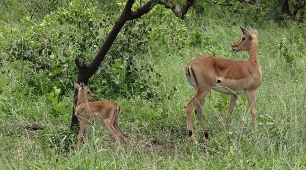 Durban day safari; Impala lamb
