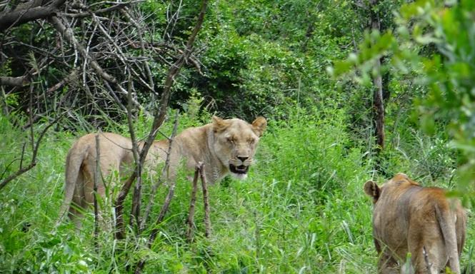 Durban day safari; Lions