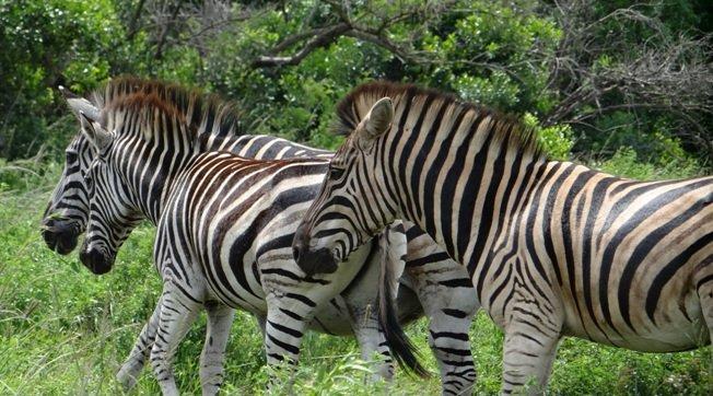 Durban day safari; Zebra