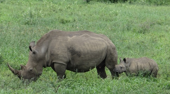 Hluhluwe day safari cute rhino calf with her mother