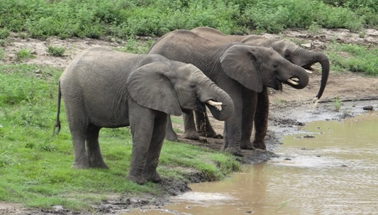 Hluhluwe day safari; Elephants drinking on our safari