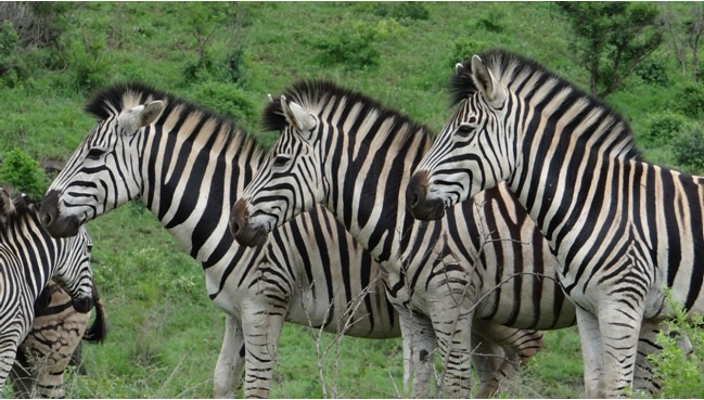 Hluhluwe day safari zebra dazzle on safari