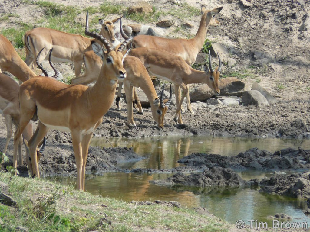 Impala watching for predators before having a drink at a local watering hole.
